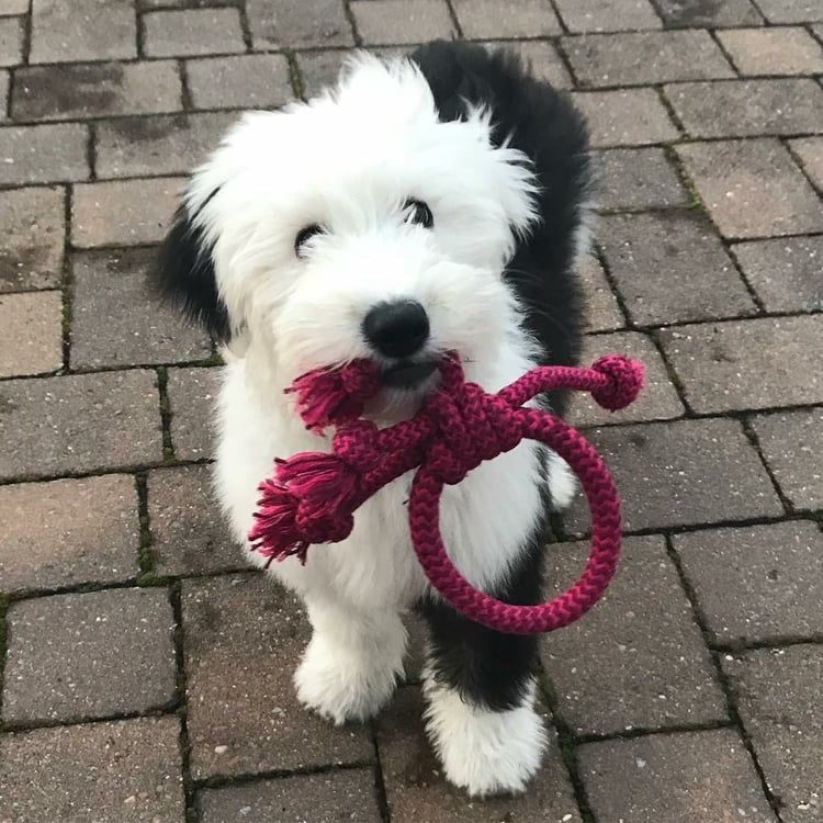 Pin By Melissa On Dogs Sheep Dog Puppy Old English Sheepdog