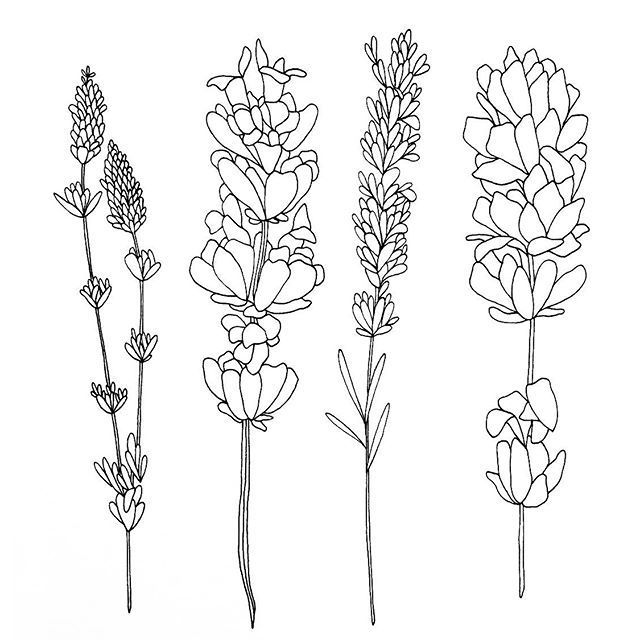 Drawn Lavender Black And White 19 Lavender Tattoo Lilac Tattoo Flower Drawing