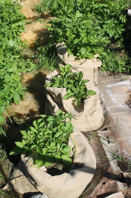 Best Ways To Grow Potatoes For More Yields 400 x 300
