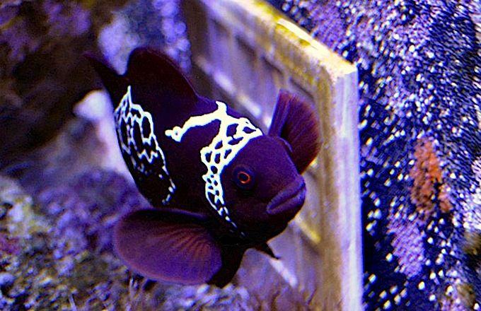 Lightning Maroon Clownfish Spawns Its First Clutch Of Eggs Betta Fish Clown Fish Fish