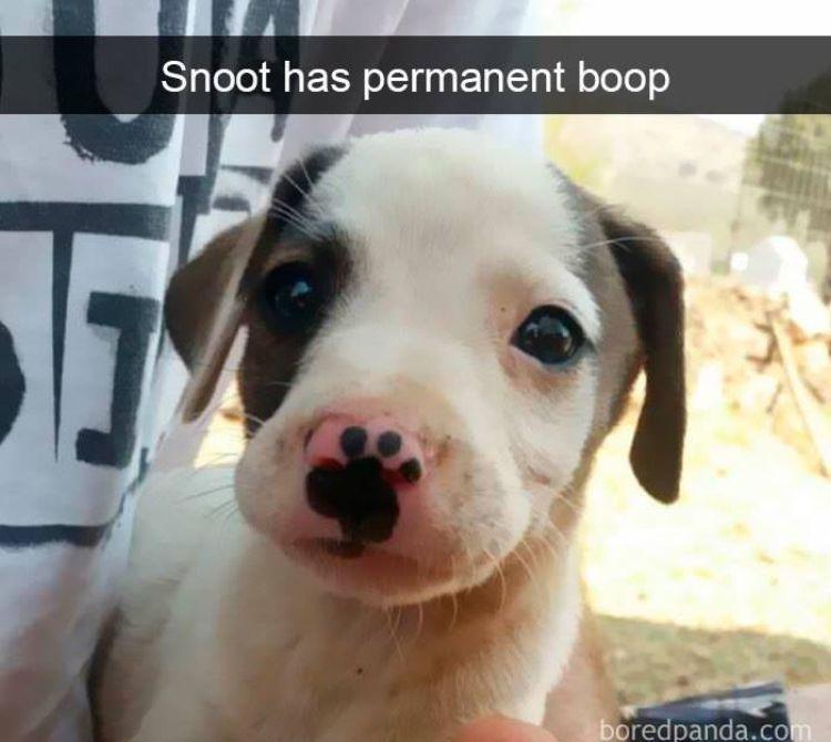 Snoot Has Permanent Boop Dog Snapchats Cute Baby Animals Funny