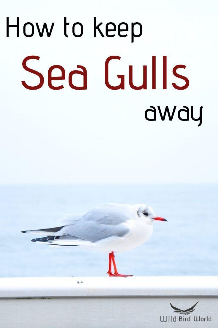 How to keep seagulls away? in 2020 Birds, Wild birds