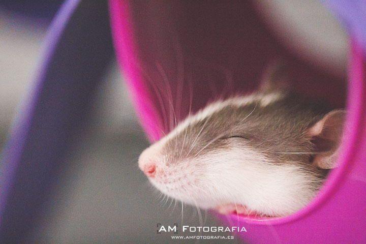 Ratties - Esme by AM Fotografia on 500px