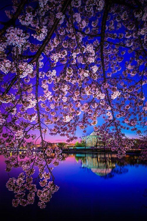 Jefferson Memorial Reflection in Cherry Blossom Dawn ~ Washington DC
