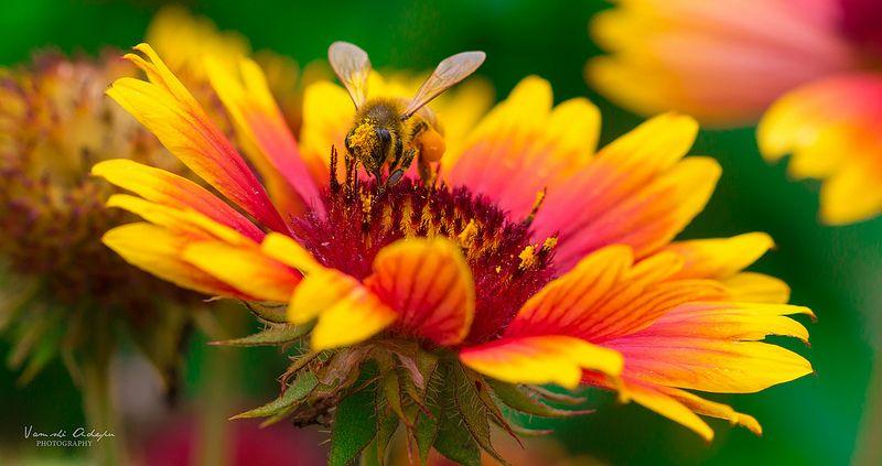 Honey Bee Honey, Bee, Honey bee