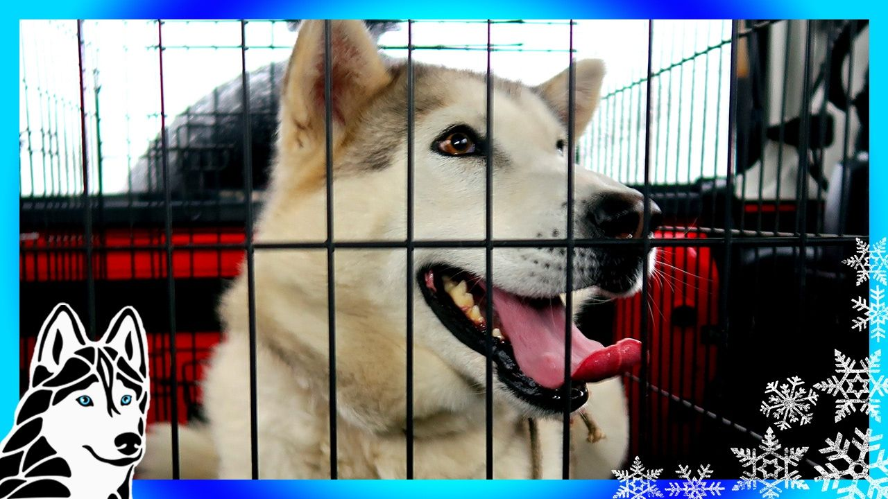 Pin By Gone To The Snow Dogs On Siberian Husky Rescue And
