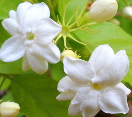 Roberta S 2 Piece Sweetly Scented Philippine Jasmine Jasmine Plant Jasmine Flower Flowers