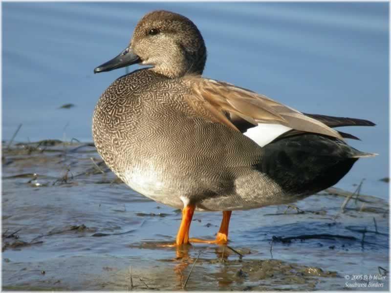 Gadwall, Bayside Community Pond, Ocean City, MD 01 /18 ...