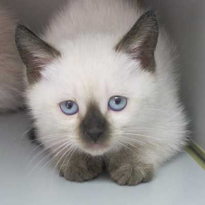 Carolina Blues Cattery Siamese Kittens For Sale Siamese Cats For Sale Siamese Cat Breeders Siamese Cats