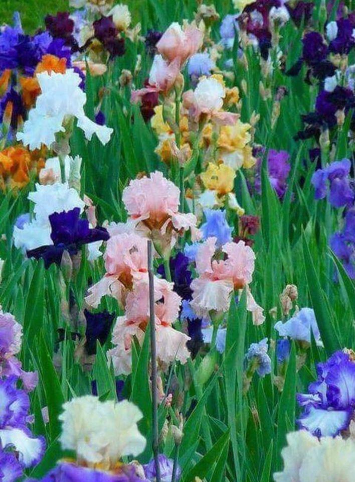 Pin by MY SWEET ANGELS on My Garden Walk in 2020 Iris