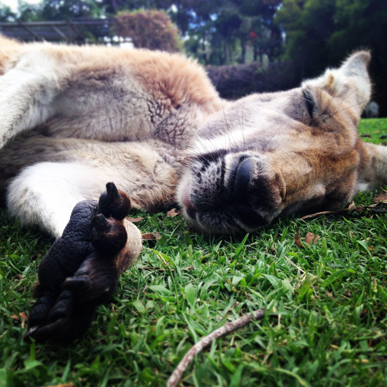 Sleeping Kangaroo Perth, Western Australia