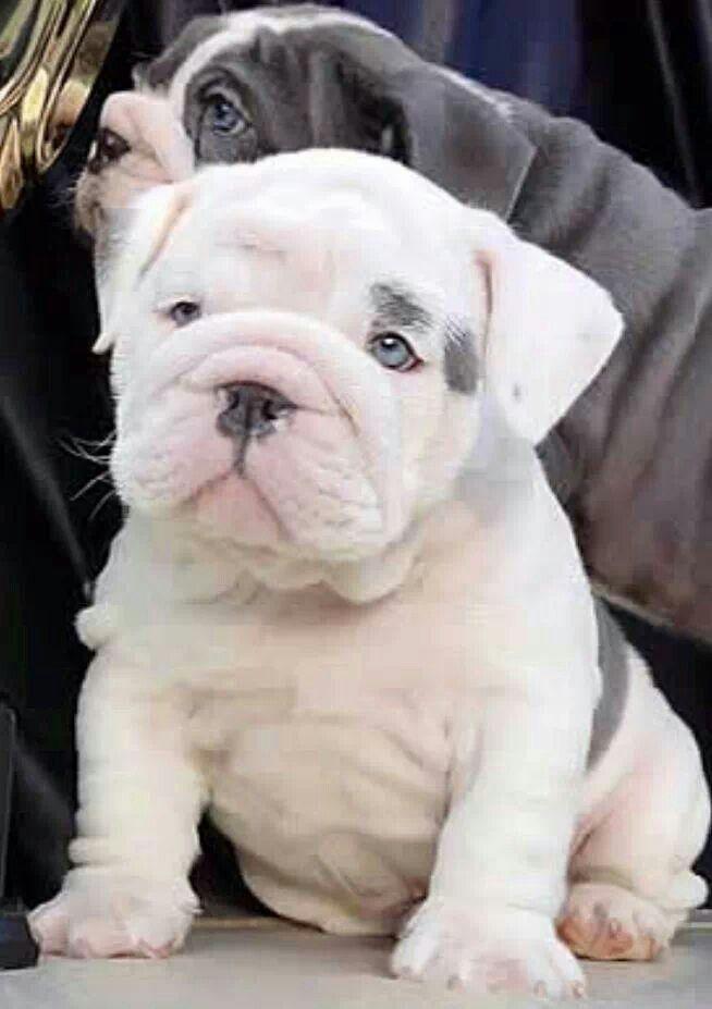 Most Inspiring English Bulldog Chubby Adorable Dog - f6c423dbae08c3b692ab5cff19a40420  2018_435084  .jpg