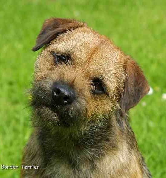 Otter Face Border Terrier Terrier Breeds Terrier