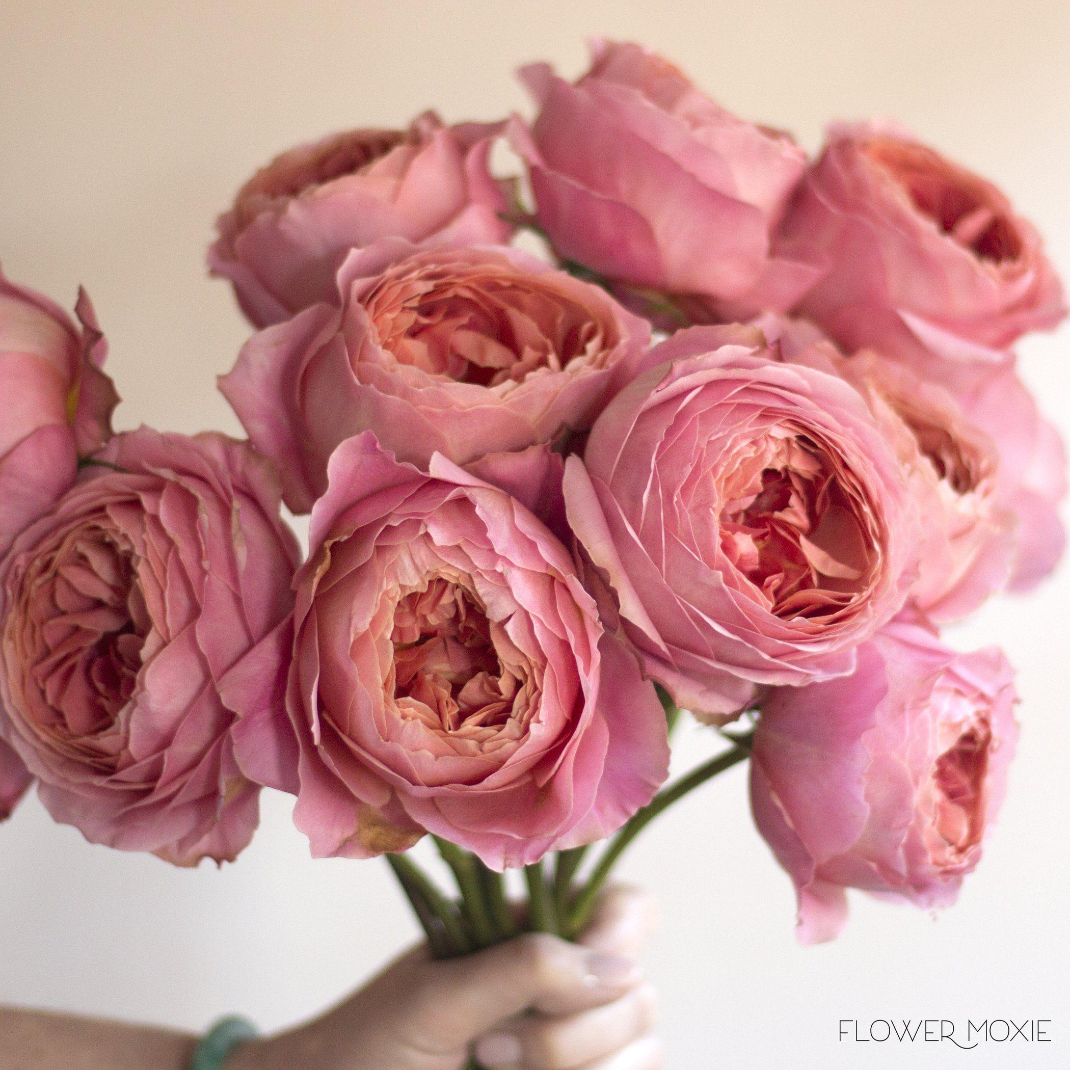 Romantic Antike rose   romantic rose   vibrant rose   vibrant color ...