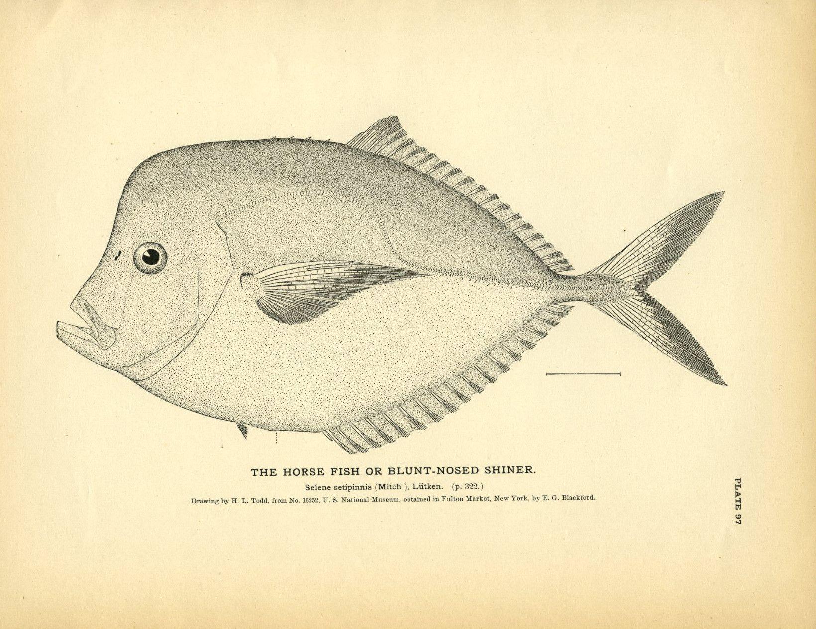 Horse Fish