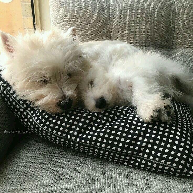 Pin By Josiane Mcgregor On Westies Westie Dogs Baby Dogs Westie Puppies