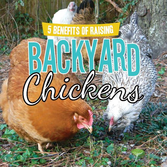 5 BENEFITS OF RAISING BACKYARD CHICKENS » Read Now ...