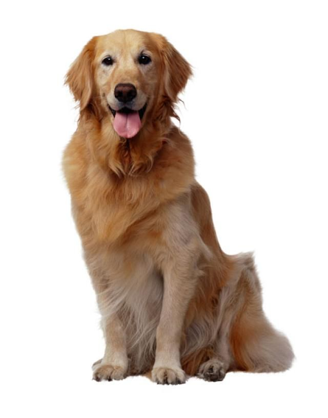 The Enthusiatic Golden Retriever Popular Dog Breeds Dog Breeds
