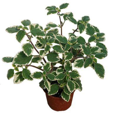 Plektrantus Komarzyca 15 30 Cm Kwiaty Balkonowe I Ogrodowe W Atrakcyjnej Cenie W Sklepach Leroy Merlin Plants Garden