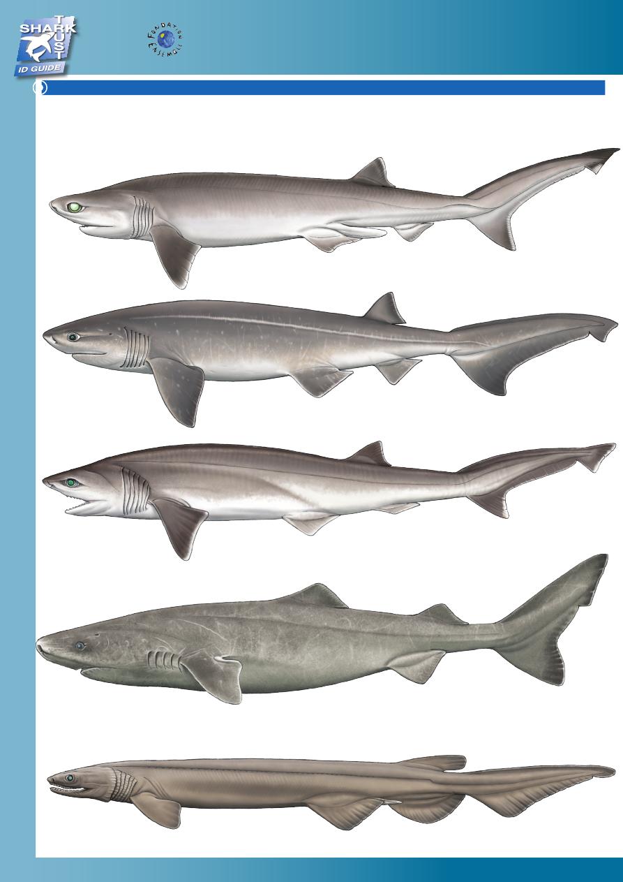 Factsheet Bigeye Sixgill Shark Frilled Shark Greenland Shark Shark