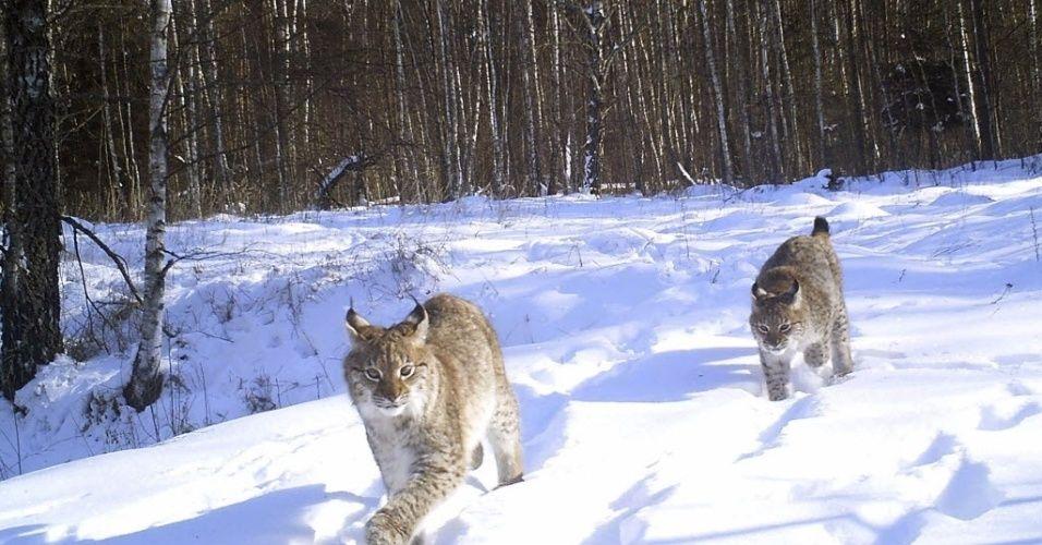 Quase trinta anos após o acidente nuclear de Chernobyl, na Ucrânia, o número de animais selvagens cresceu na zona abandonada pelos seres humanos, em abril de 1986, devido à explosão de um dos reatores nucleares. Esta foi a conclusão de um artigo publicado nesta semana na revista Currently Biology. Estes linces foram fotografados em fevereiro de 2014