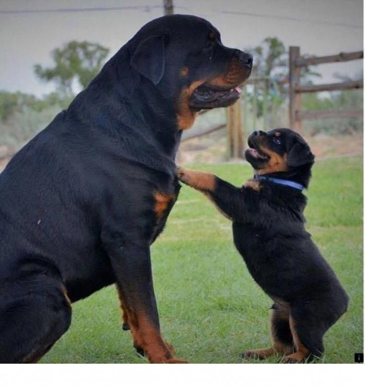 Rottweiler Loving Confident And Loyal Dogs Puppies