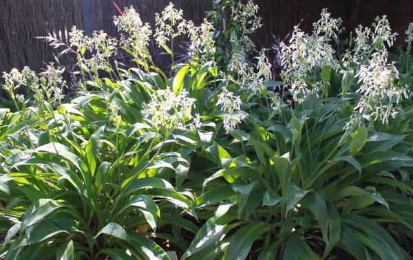 Arthropodium Cirratum This New Zealand Rock Lily Loves Dry Shady Places Like Under Trees Where
