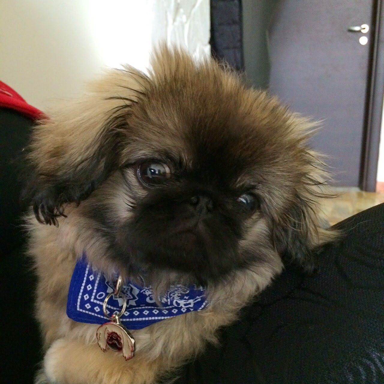 Pekingese By Kari Glasco Pug Puppies Pekingese Dogs Pekingese