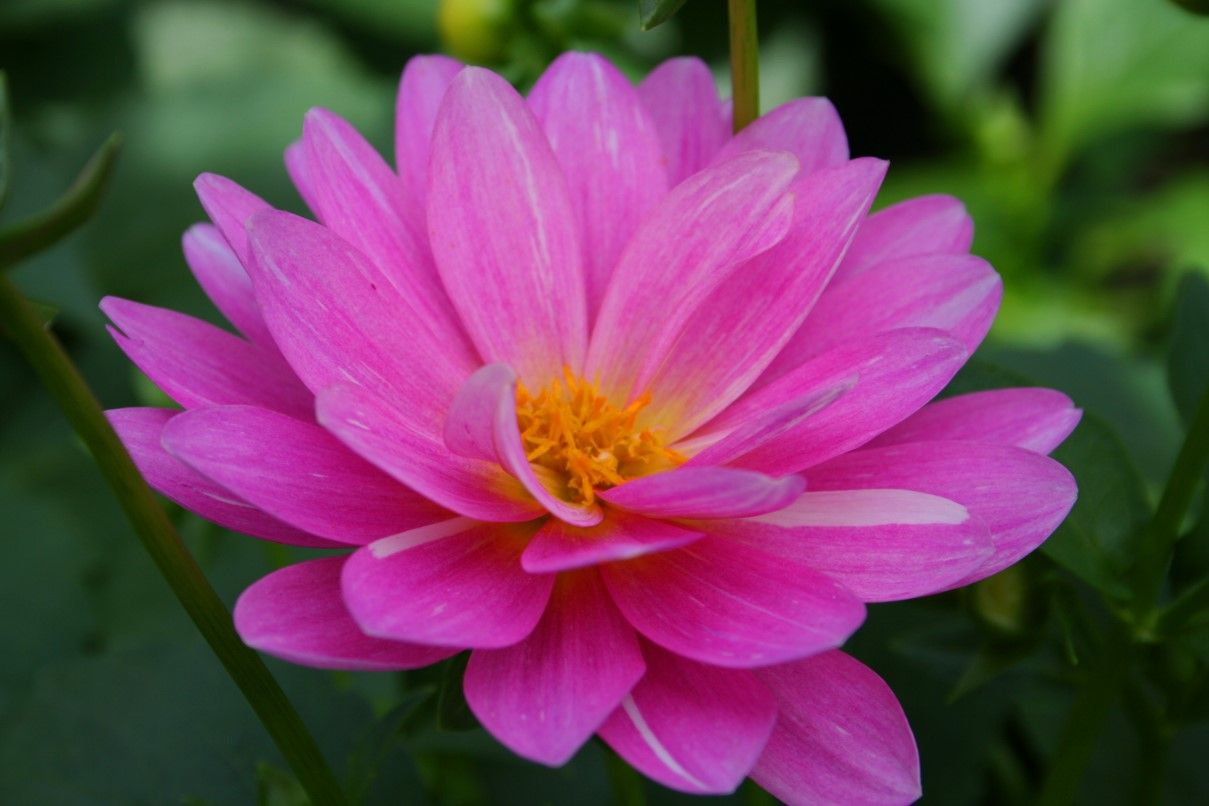 Beautiful pink flower2 flower flowers and gardens beautiful pink flower2 most beautiful flowersbeautiful izmirmasajfo Images