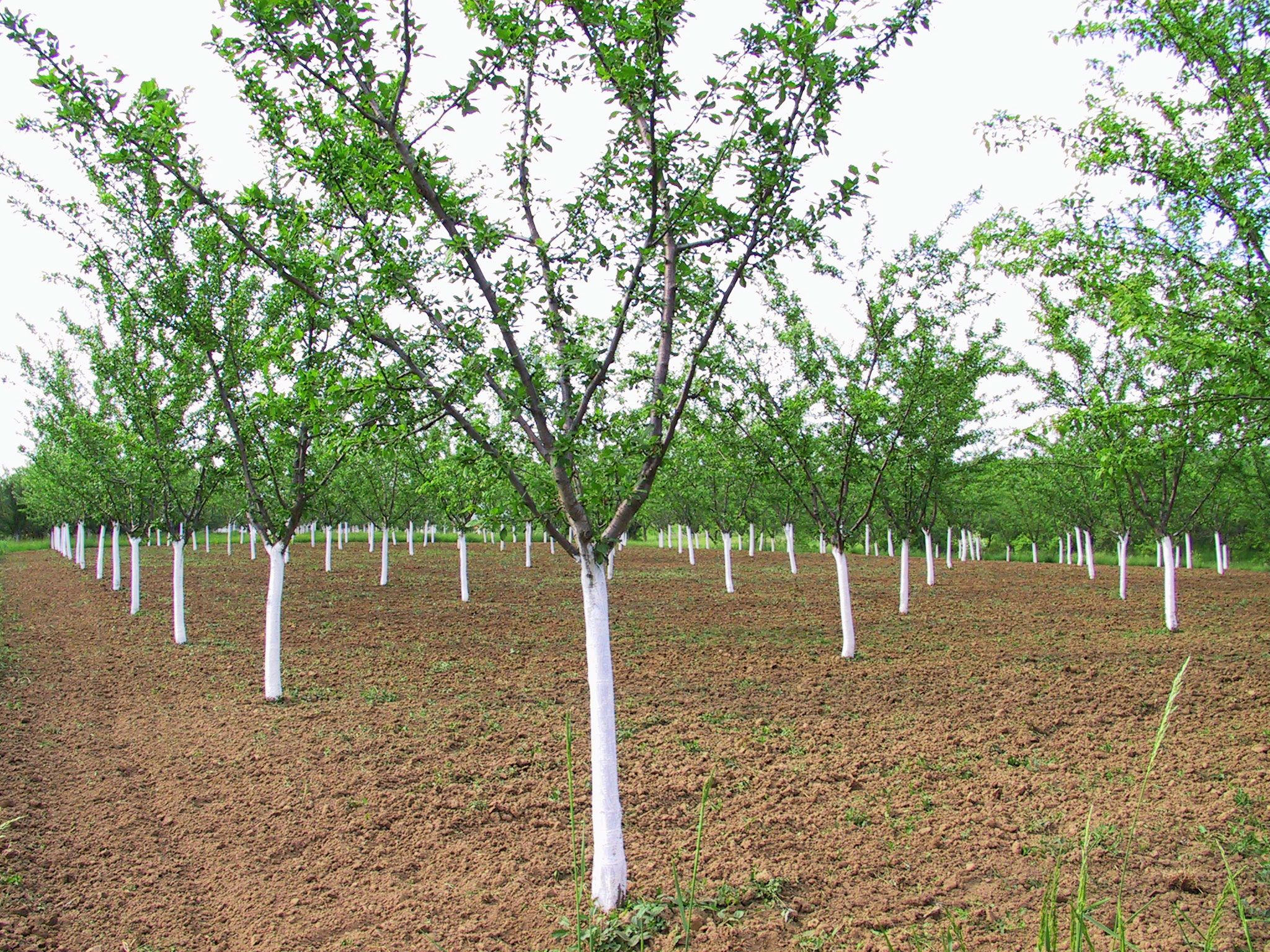 Plum Tree Problems What To Do When A Plum Tree Fails To Bear Fruit Plum Tree Fruit Trees Trees To Plant