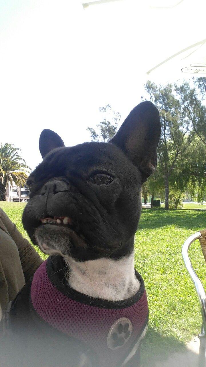 Polish French Bulldog Cuteness Overload Animals
