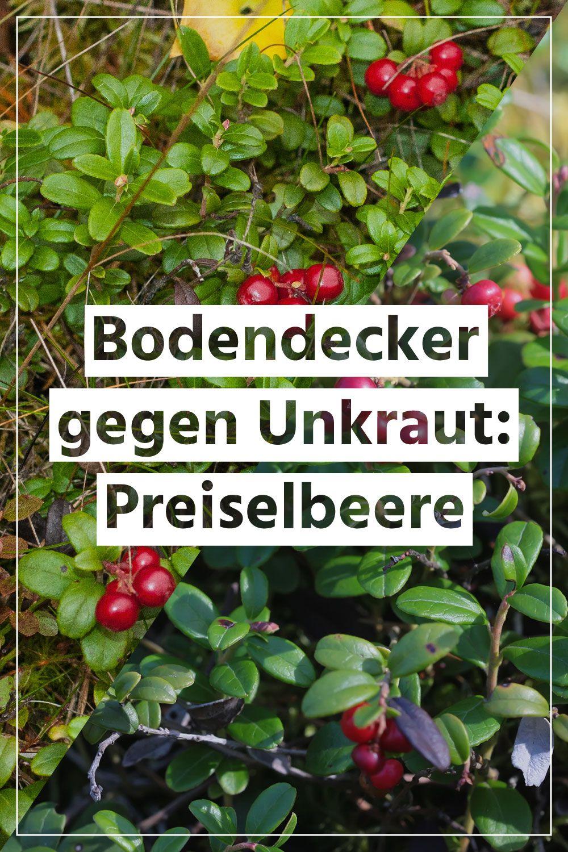 Mit Der Preiselbeere Halten Sie Unkraut Aus Ihrem Garten Garantiert Fern Unkraut Im Garten Unkraut Bodendecker Gegen Unkraut