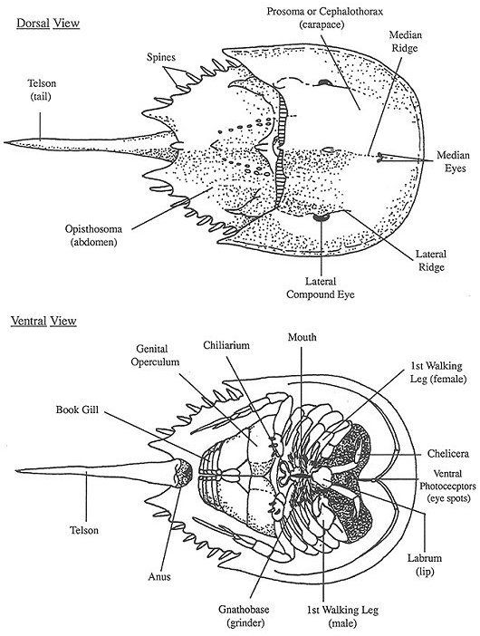 anatomy of a horseshoe crab  dorsal and ventral view        njscuba net  zzz biology  anatomy