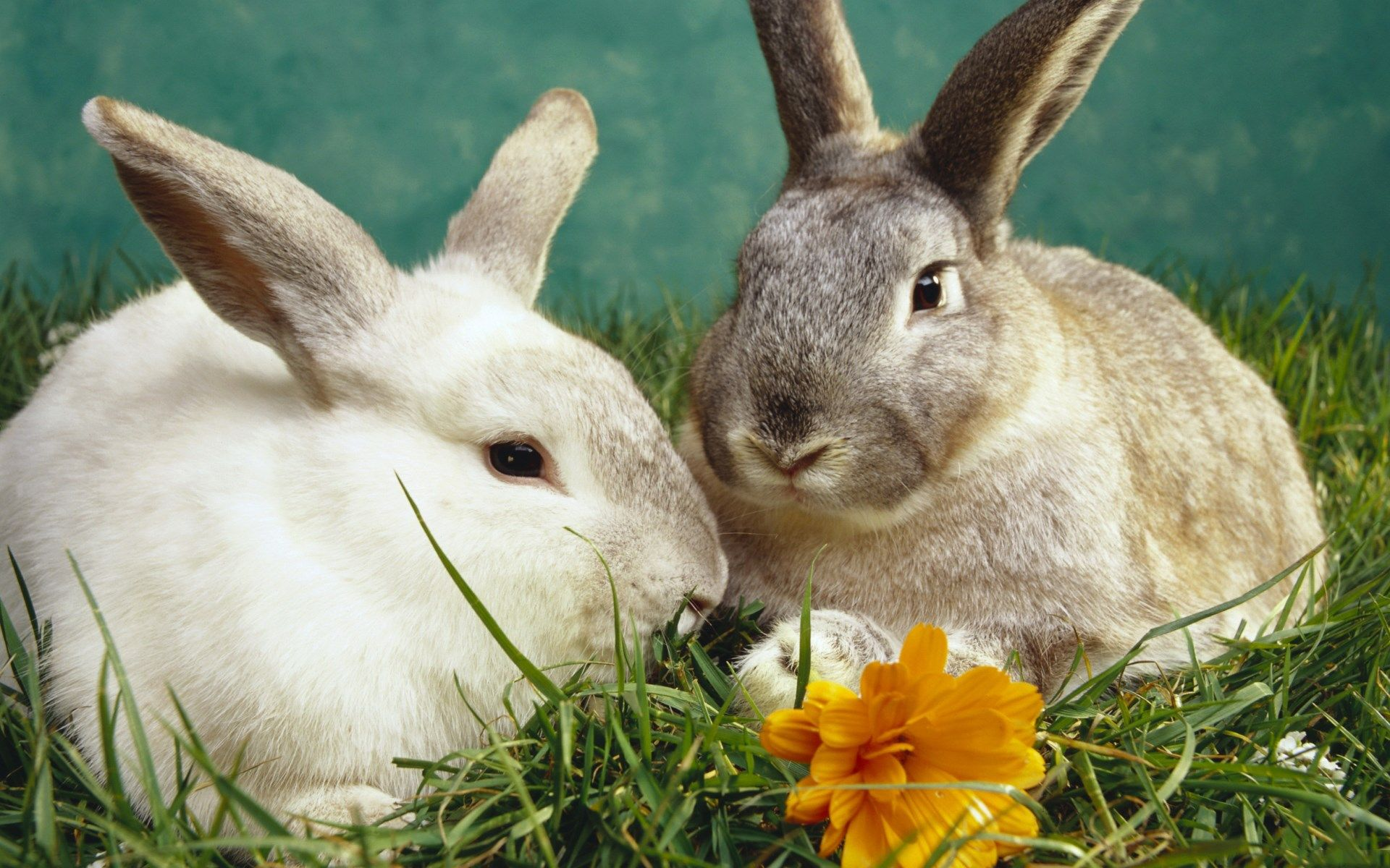 rabbit Full HD Background Pets, Rabbit pictures, Small