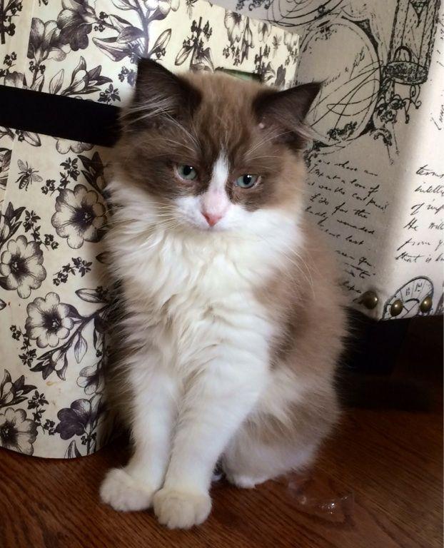 Photo Uploader For Pinterest Ragdoll Kitten Ragdoll Cat Kittens Cutest