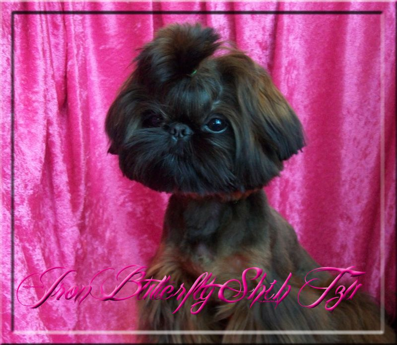 Quality Chinese Imperial Shih Tzu And Tiny Teacup Puppies For Sale Here Health Sweet Temperament And Teacup Puppies For Sale Teacup Puppies Puppies For Sale