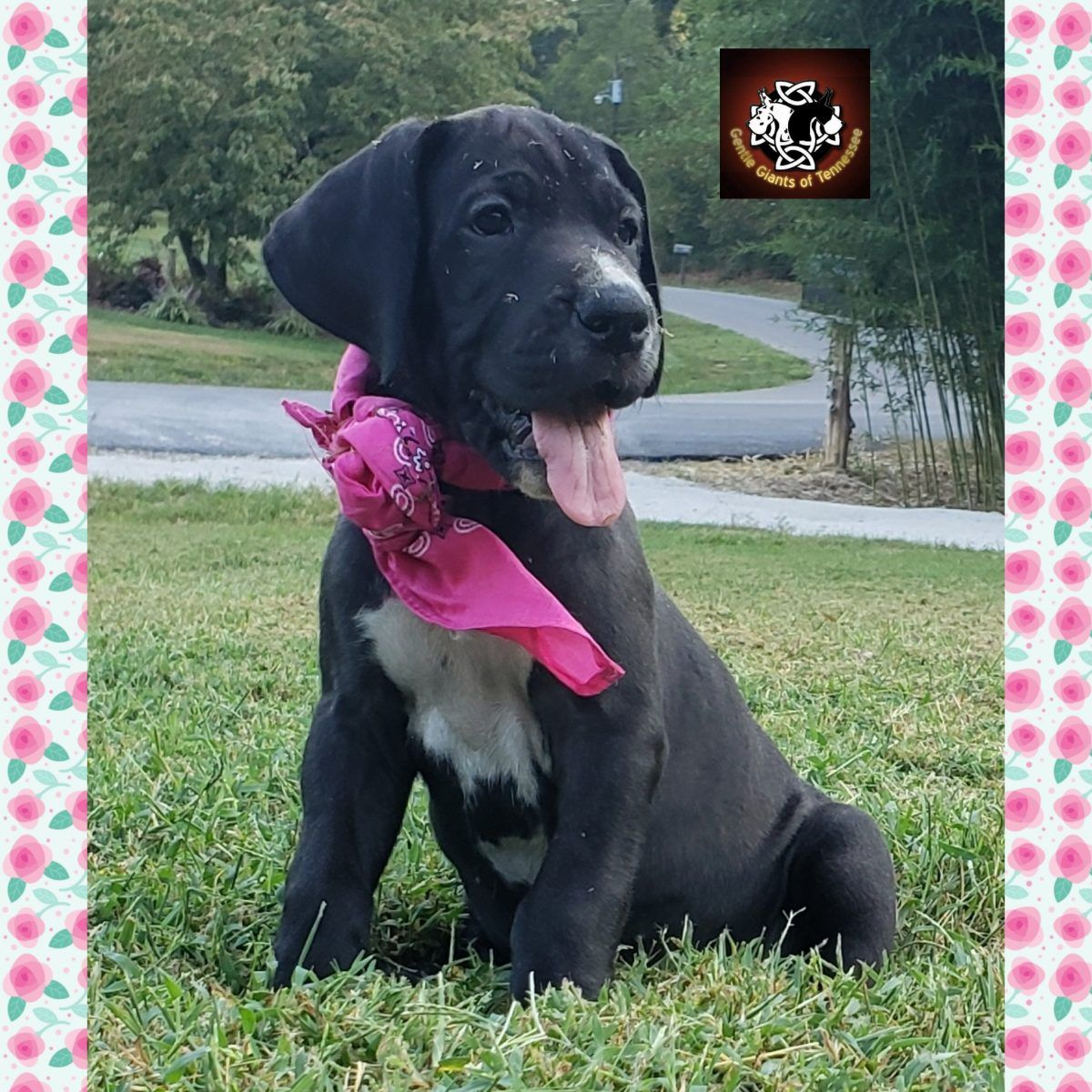 Pink Collar Female Akc Great Dane Puppies For Sale In Cookeville
