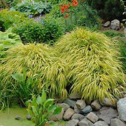 Hierba de jap n 39 all gold 39 plantas jardin japones for Plantas jardin japones