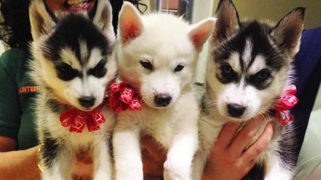 Pets Of The Week 1 Month Old Siberian Husky Puppies With Images