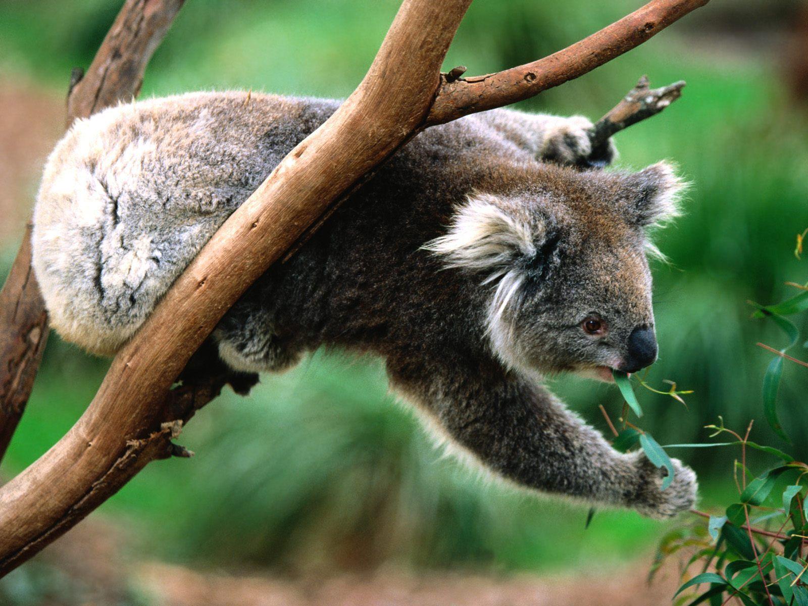 Tapety zvieratá - Koala Greens