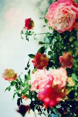 Stunning rose bush in the sun. #PANDORAloves