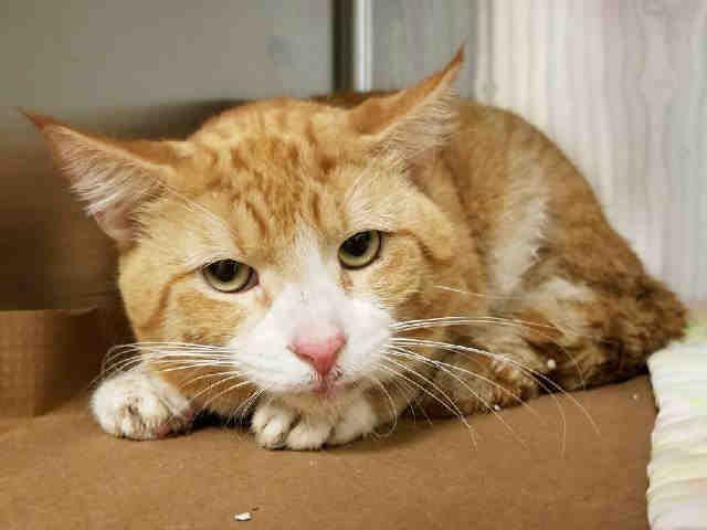 JOAQUIN A1091299 Cat adoption, Foster cat, Cat shelter