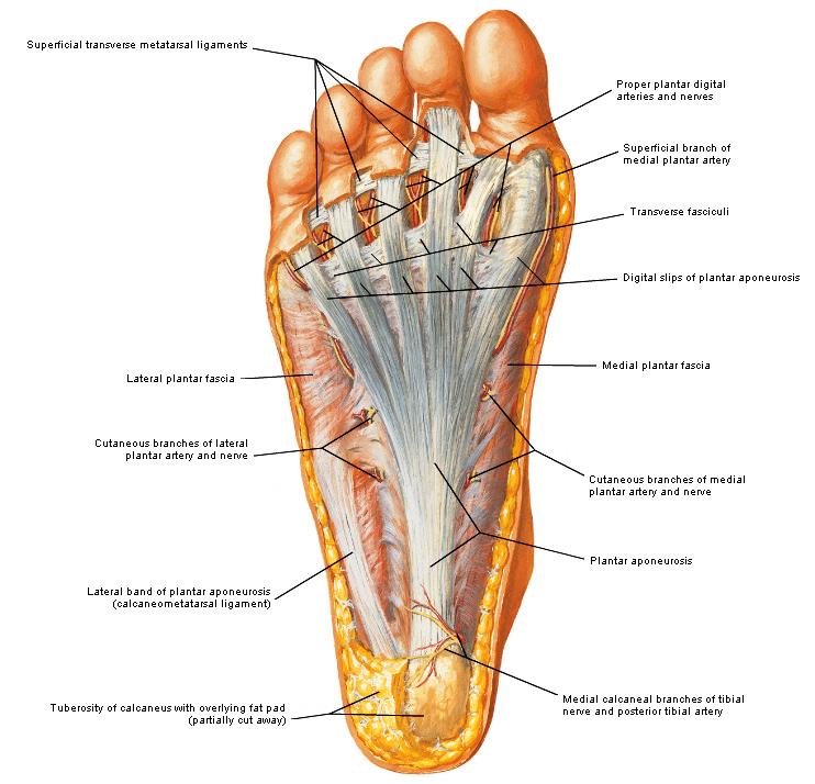 anatomie | Feet | Pinterest | Anatomie