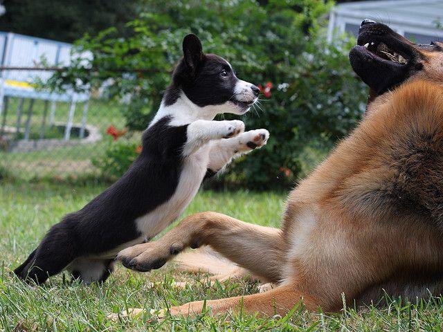 Big Bad Wolf Corgi Cardigan Welsh Corgi Puppies Cute Animals