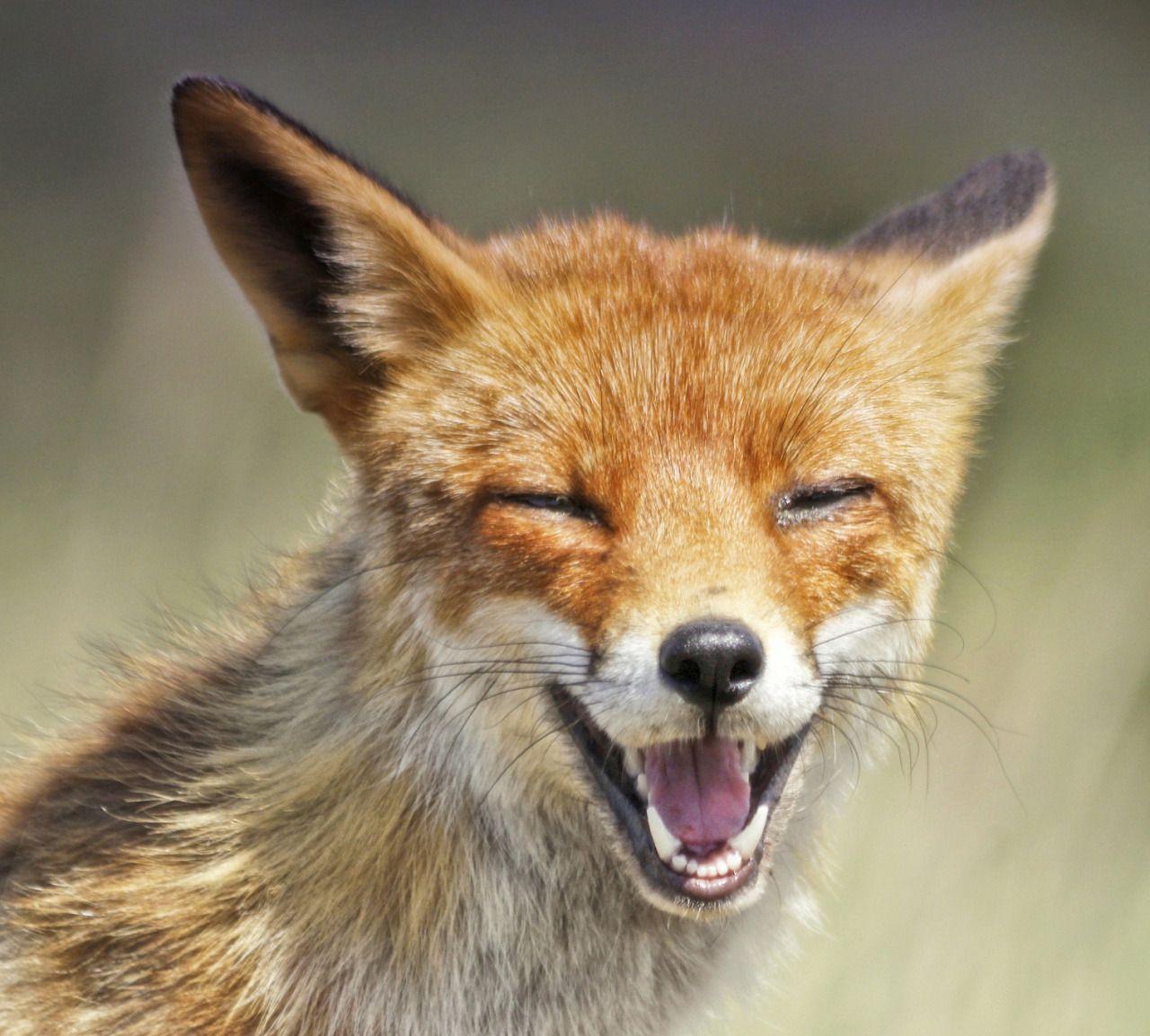 Red Fox by Joke Hulst