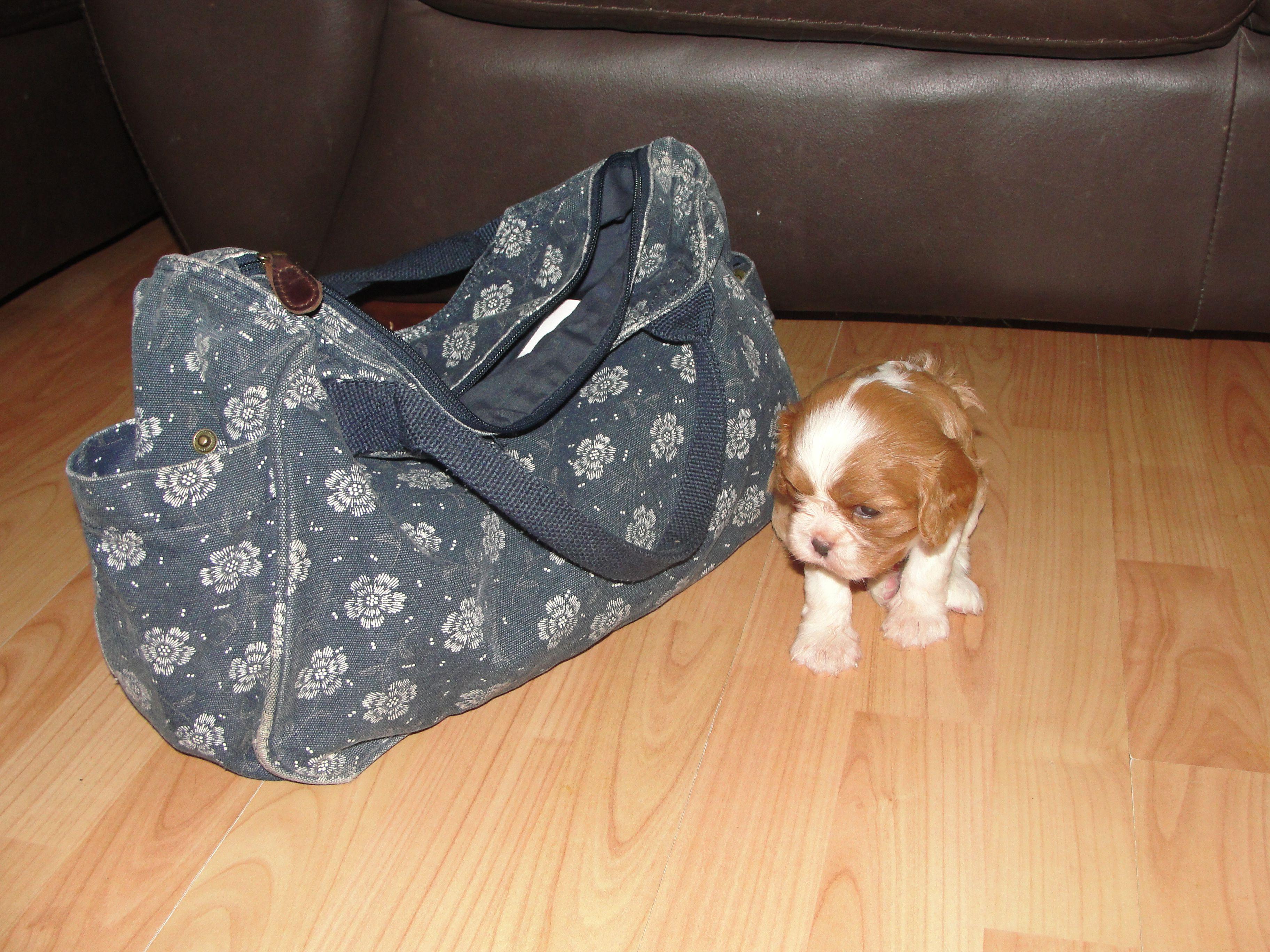 4 Week Old Hairy Baby Next To My Handbag So Tiny Cavalier King Charles Spaniel King Charles Cavalier King Charles Charles Spaniel