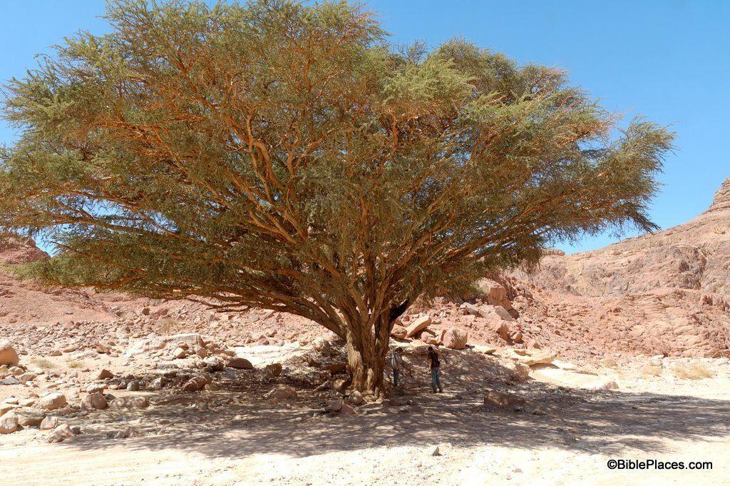 Acacia Acacia Tree Tree Wood Tree