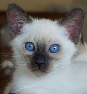 Sorry Sold Siamese Balinese Kittens Baliwest Siamese Cats Blue Point Balinese Cat Pretty Cats