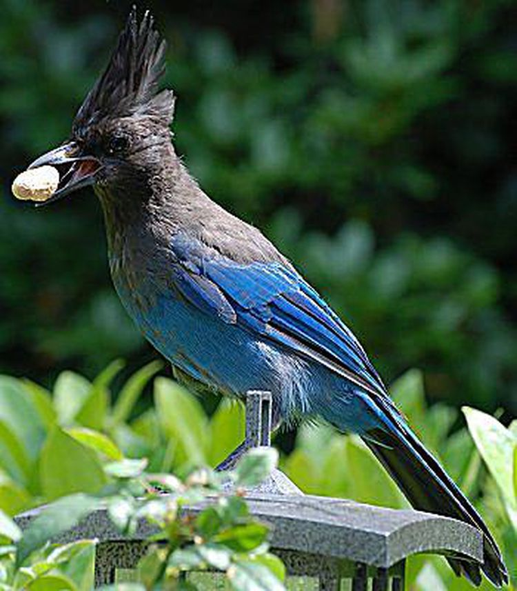 Tips For Attracting Different Jays To Your Backyard