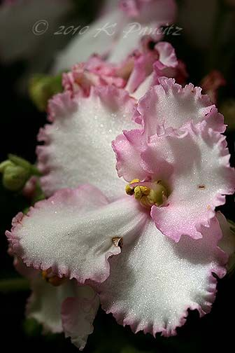 beautiful pink ruffle African Violet